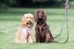 Enlantilainen blogi: The Cotswold Spaniels
