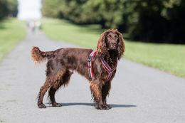 Finnero Ratia 8 shape valjas, kuva: The Cotswold Spaniels